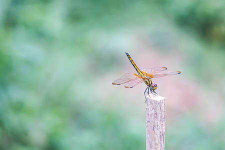 Yellow dragonfly perched on a stick in the garden