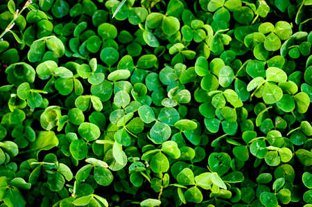 green clover trefoil texture background Stock Photo - 12748088