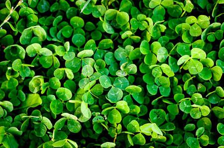 green clover trefoil texture background Stock Photo - 12748088