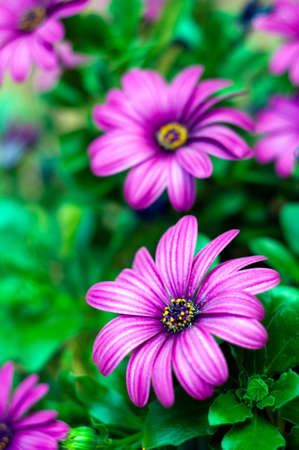 purple flowers background. african daisy, osteospermum close-up photo