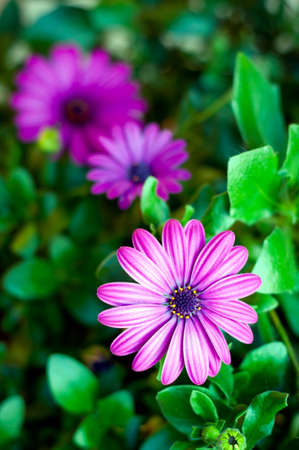 purple flowers backround. african daisy, osteospermum close-up photo