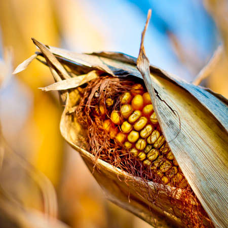 mais: Corn closeup on the stalk. Detail of dried corncob on the field ready for autumn harvesting.
