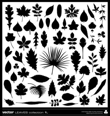 cedro: Hoja colección de siluetas vectoriales. Los diferentes tipos de hojas.