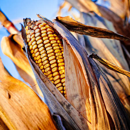 Corn closeup on the stalk. Detail of dried corncob on the field ready for autumn harvesting. photo