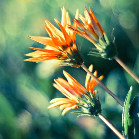 Colorful autumnal chrysanthemum background. Orange flowers. Shot from below. Standard-Bild