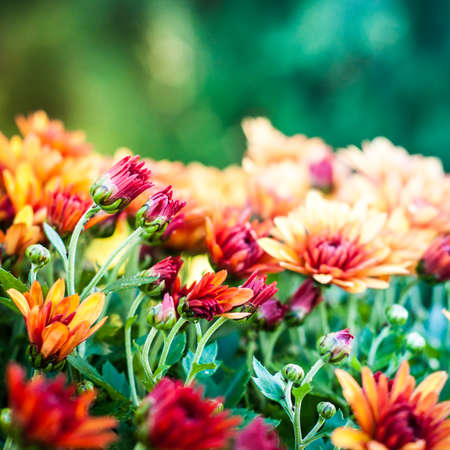 Colorful autumnal chrysanthemum background. Orange flowers. Banque d'images