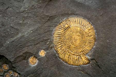 化石カタツムリ。アンモナイトの化石は石に埋め込まれています。