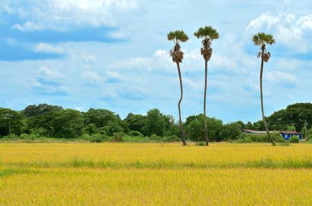 Three sugar palm tree in rice field, Thailand photo