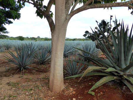 Blue Agave plant on field used for Tequila in Mexico