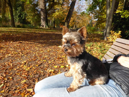 little dog Yorkshire terrier close up on a bank in autum leafs on ground in Germany Stock Photo