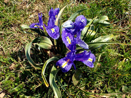 crocus alpine close up in blossom on top of the mountain in early Spring in Spain. Fresh beautiful purple crocus. Stock Photo
