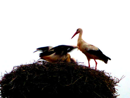 White storks in nest, with white background