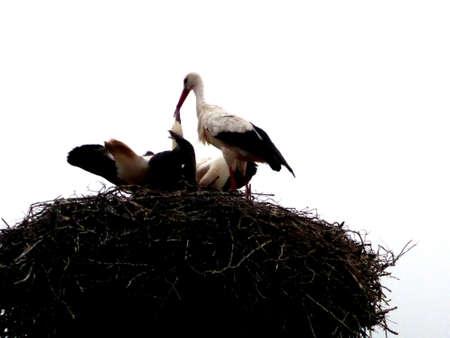 White storks in feeding nest, with white background Reklamní fotografie