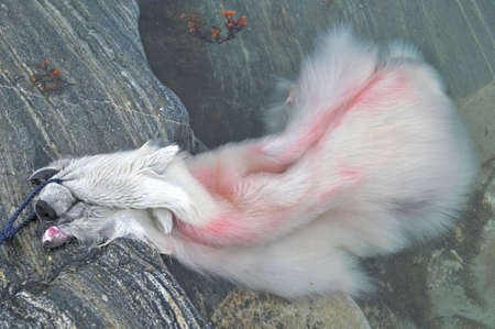 Polar bear fur with blood in the water Stockfoto
