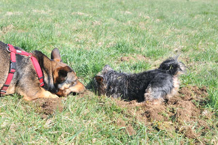 Two dogs digging in the grass