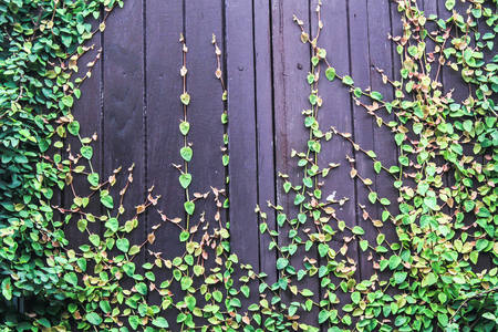 Climbing Fig and wood wall