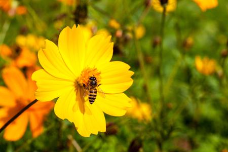 goldy: Bee insetto su Bel fiore giallo in campo perfetta giornata di sole. Macro Archivio Fotografico