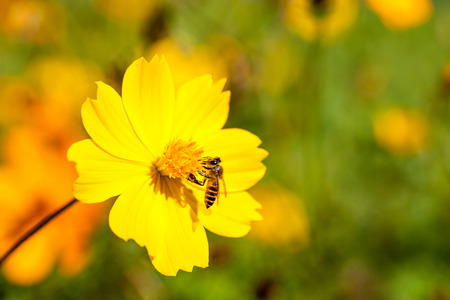 goldy: Bee insect on Beautiful yellow flower in field perfect sunny day. Macro Stock Photo