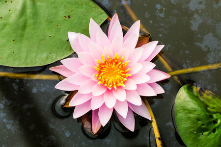 nymphaeaceae: Clean pink lotus or Nymphaea Pink ribbon (Nymphaeaceae) with leaf on Contaminated water Stock Photo