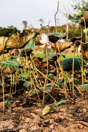 barren: Lotus on the barren ground