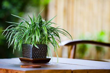 Chlorophytum in flowerpot on table. Variegatum, comosum. Spider Plant 免版税图像