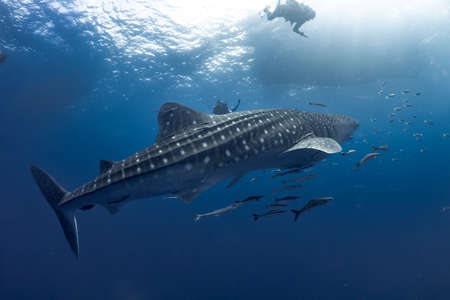 giant Whale shark swimming underwater with scuba divers