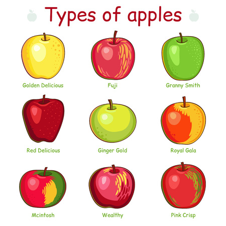 wholesome: Types of apples.  Isolated on white background. Illustration