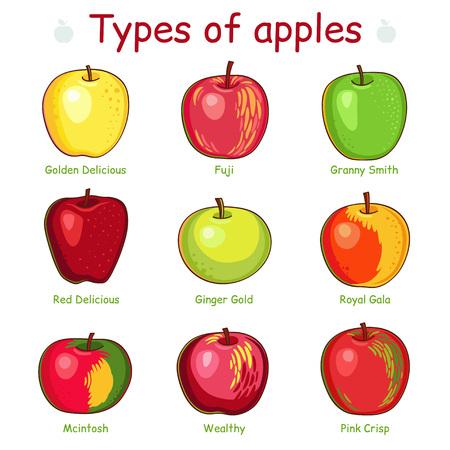 nourishing: Types of apples.  Isolated on white background. Illustration