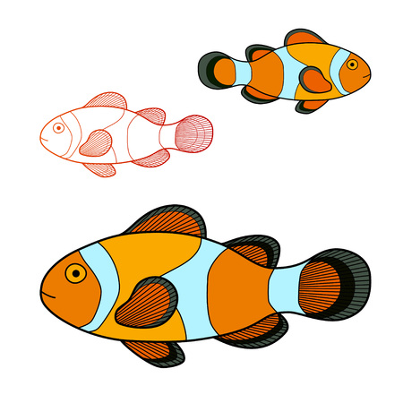 clown fish: Vector illustration of clown fish isolated on white background.