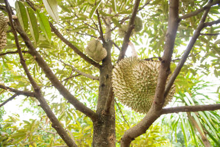 Durian tree, King of fruits