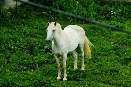 white: white horse