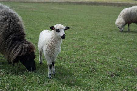 oveja negra: oveja y cordero negro