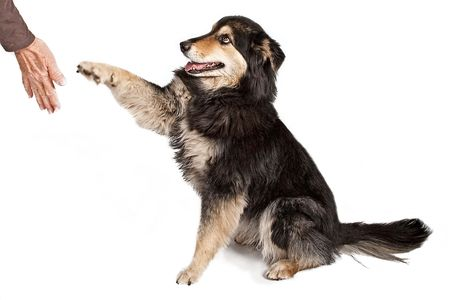 australian shepherd: Australian Shepherd dog offering his paw to shake hands