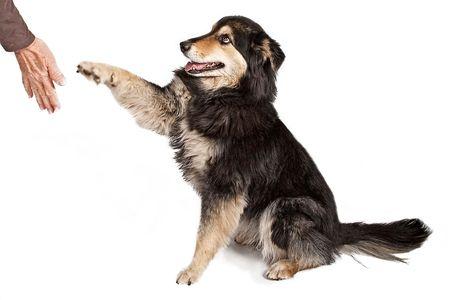 obedience: Perro pastor australiano ofreciendo su pata a estrecharle la mano