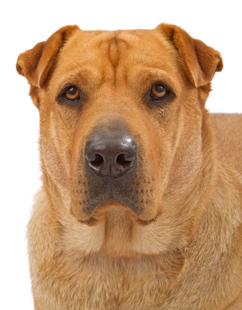 Close-up Portrait of a Large Mixed Breed Dog