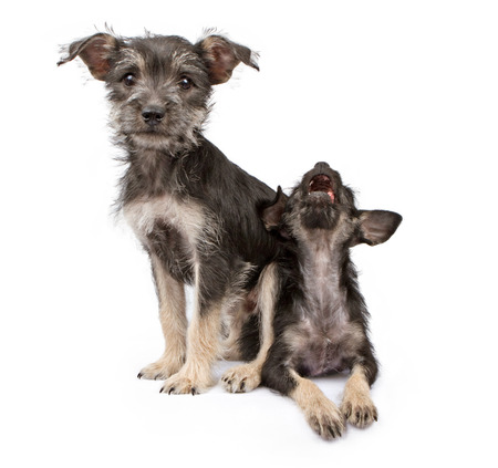 overpowering: A cute scruffy puppy sitting on top of another puppy that is howling Stock Photo