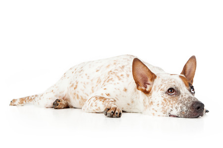 Australian cattle dog laying against a white backdrop and looking up