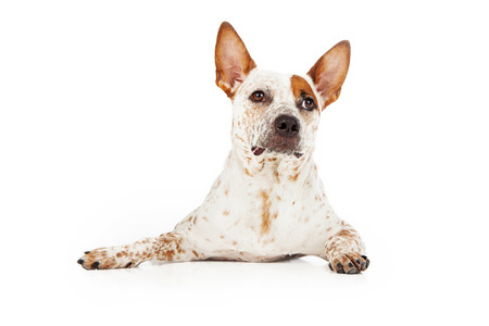 red heeler: An Australian Cattle Dog laying down with an alert expression