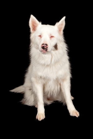 An Australian Shepherd dog with blindness caused by improper breeding of two merle dogs together. Isolated against a black backdrop. Stock Photo