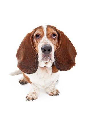 白い背景のバセットハウンド犬の座っていると悲しい顔とカメラを見て