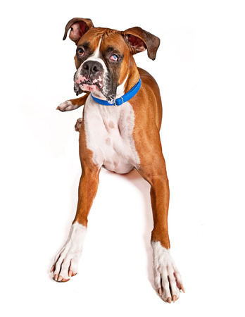 rescued: A large rescued Boxer dog that is blind in one eye and had a drool bubble coming out of his mouth