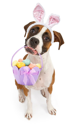 easter basket: A tri-colored Boxer dog sitting down and looking up while wearing bunny ears and holding an Easter Basket in her mouth