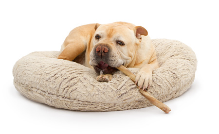 An English Bulldog laying on a bed and chewing on a bully stick with spit on his mouth photo
