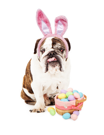 English Bulldog sitting against a white backdrop wearing bunny ears with an Easter basket full of pastel colored eggs.  photo