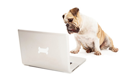 A Bulldog sitting against a white backdrop looking at a laptop computer that has a bone logo on the back of it  photo