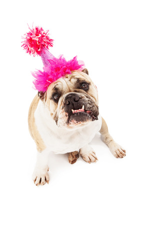 Bulldog wearing a pink birthday hat sitting against a white backdrop with bottom teeth sticking out  photo
