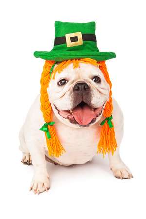 stocky: Bulldog against a white background wearing a costume of a green irish hat and hair braids made of orange color yarn