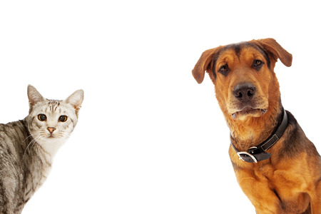 An adult large breed dog and a silver cat coming into the sides of an image with room for text Banco de Imagens