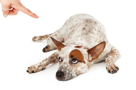 An Australian Cattle Dog mixed breed laying down on the floor and rolling his eyes up at a finger being pointed at him as he is being scolded. Stock Photo - 22889978