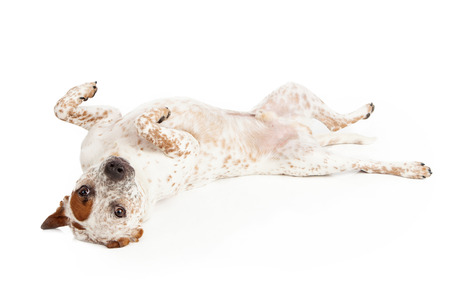 A Queensland Heeler Catahoula Leopard mixed breed dog laying on his back against a white backdrop